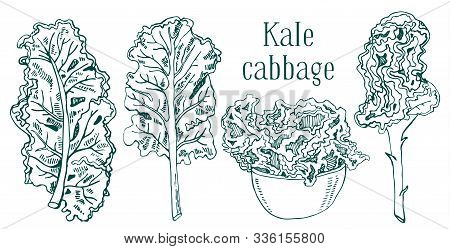 Set Of Kale Cabbage Leaves. Hand Drawn Vector Sketch Illustration. Isolated On White Background
