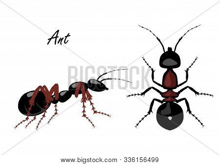 Realistic Ant Top And Side View Isolated On White Background. Vector Illustration Of Realistic Ant