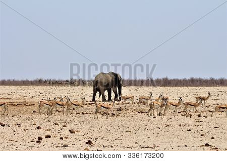 Elephant Bull Going Away From Waterhole. Springboks Around And Zebras In The Back