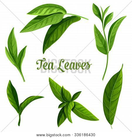 Tea Leaves Vector Botanical Illustration, Green And Black Teak Tea And Teabags Package Design Elemen