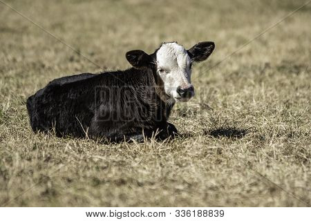 Young Black Baldy Calf Lying Down In A Dormant Pasture