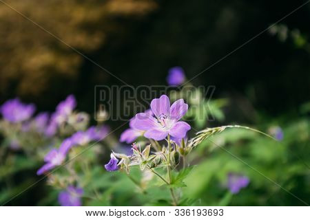 Hordaland, Norway. Geranium Plant Flowers Blooming In Summer Norwegian Forest. Cranesbills.