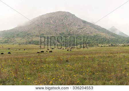 Bison Grazing At The Wichita Mountains National Wildlife Refuge.