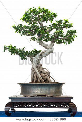 Chinese Banjan As Bonsai Treee