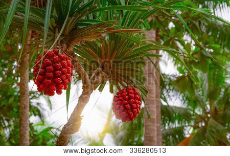 Pandanus Tectorius Tree With Ripe ้hala Fruit On Blur Background Of Coconut Tree At Tropical Beach W