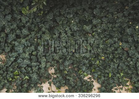 Vintage Green Ivy Leaves Growing On A Wall In A Garden.