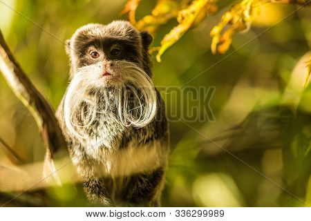 Portrait Of A Cute Monkey With A Long White Mustache.
