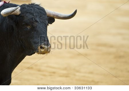 Bull Ready To Fight.