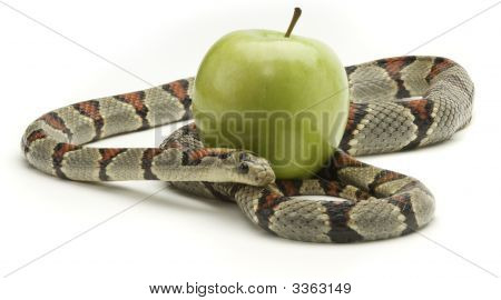 Gray banded king snake coiled around and apple on a white background poster