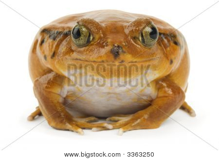 Orange frog facing the camera on a white background poster