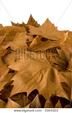 Fallen Sweetgum Tree Leaves