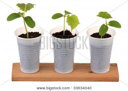 Young Fresh Seedling