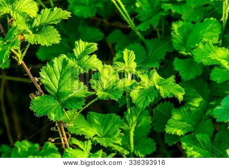 Brambles With Green Leaves Of A Berry Plant In Closeup, Tropical Plant Specie From North America, Ho