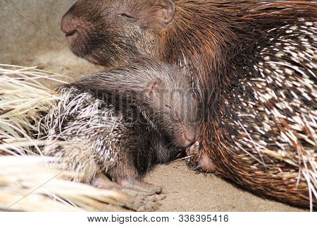 Little Indian Crested Porcupine (hystrix Indica) With Its Mother