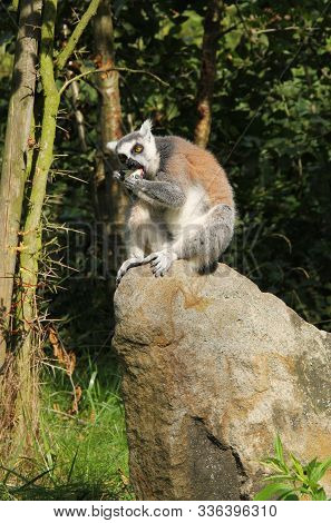 Cute Ring-tailed Lemur (lemur Catta) Sitting On The Rock And Eating Something