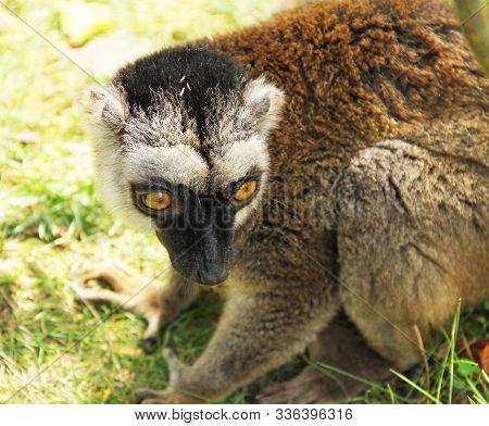 Portrait Of Cute Fluffy Common Brown Lemur (eulemur Fulvus)