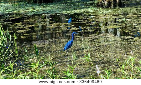 A Little Blue Heron In Florida Swamp