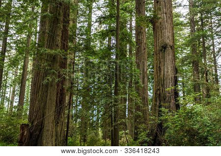 Ladybird Grove Redwoods forest in pacific northwest poster