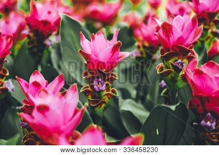 Beautiful Pink Flowers Of Siam Tulip Or Krachiew Flowers (curcuma Alismatifolia) In Garden At Pa Hin