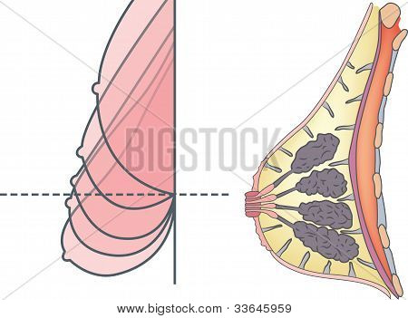 Anatomy Of Female Breast