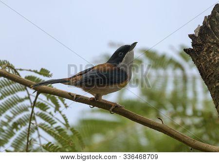 Black Headed Shrike Babbler, Male, Pteruthius Rufiventer In Mishmi Hills Of India