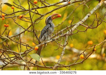 Grey Hornbill, Ocyceros Birostris At Dandeli In Karnataka, India