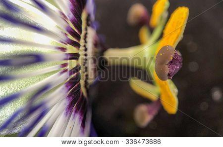 Exotic Passion Flower, Passiflora Caerulea Or Golden Granadilla Macro Photography Close Up Shot Of F