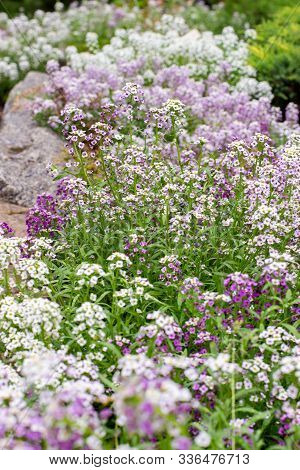Lobularia Maritima Blossom Garden Ornamental Flowering Plant, Garden Decoration. Lawn Plant With Whi