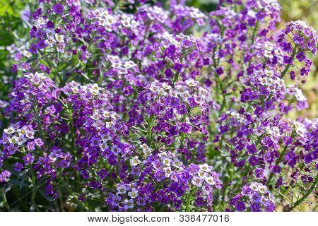Lobularia Blossom With Purple Lilac Small Flowers. Garden Ornamental Flowering Plant. Background Sun