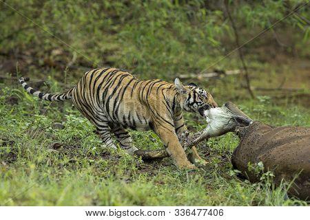 Tiger Eating Meat, Panthera Tigris At Tadoba In Chandrapur, Maharashtra, India