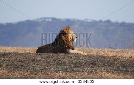 Lion In Ngorongoro N.P. In Tanzania