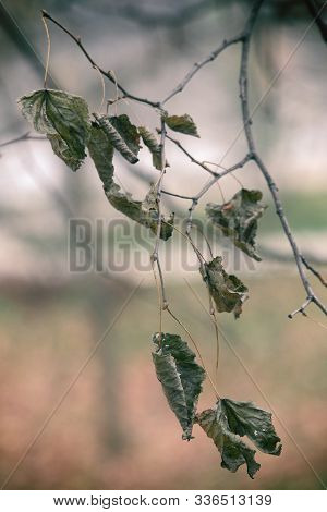 Fall Dried Leaves On A Tree Branch On A Golden Blurry Autumn Background Close Up