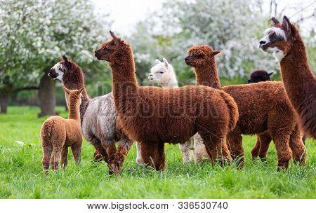 Alpaca Herd On A Spring Meadow, South American Mammals