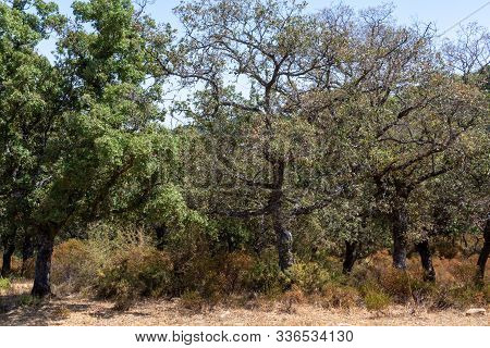 Grove With Cork Oaks, Primary Source Of Cork For Wine Bottle Stoppers And Other Uses