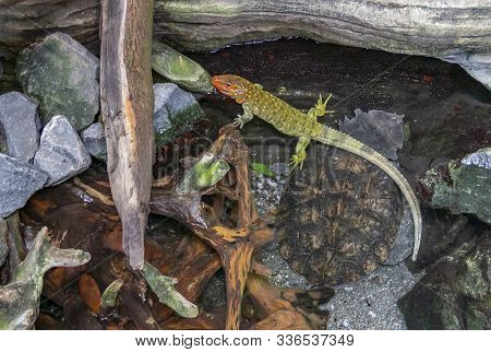 A Northern Caiman Lizard And A Mata Mata Turtle In Riparian Ambiance