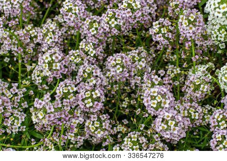 Lobularia Maritima Blossom Lawn Garden Plant Is Used To Design Borders, Flower Beds. Low Plant With
