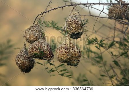 The Nests Of The Southern Masked Weaver - African Masked Weaver (ploceus Velatus) Hanging From The B