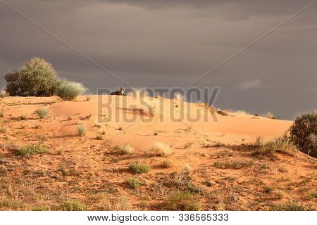 The Cheetah (acinonyx Jubatus) Lying On The Red Sand Dune In Kalahari Desert. Grey Sky After Rain An