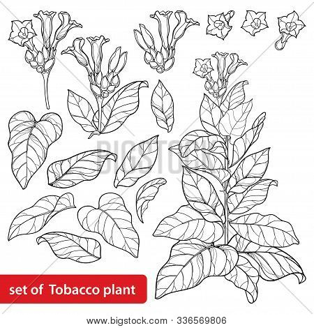 Vector Set Of Outline Toxic Tobacco Plant Or Nicotiana Flower Bunch, Bud And Leaf In Black Isolated
