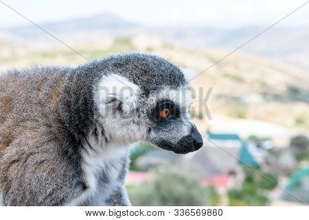 Portrait Of Ring-tailed Lemur, Lemur Catta In A Zoological Garden.