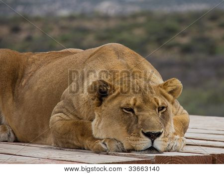 Lioness Laying Down Looking Bored