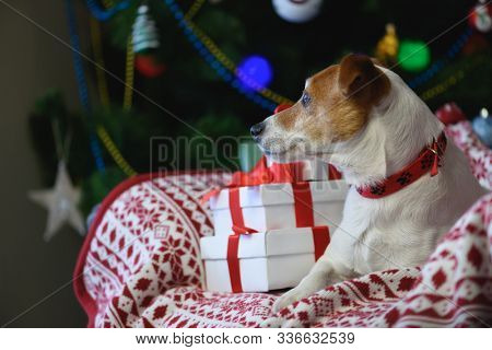 Jack Russel terrier dog near Christmas presents gift box in front of Christmas tree
