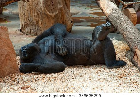 Funny Happy Lazy Black Gorilla Relaxing In Zoo. Lazy Monkey Gorilla Laying & Have Fun. Monkey Gorill