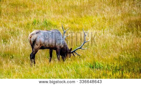 Male Elk Or Wapiti, Covered In Mud From The Geysers, Grazing In Yellowstone National Park, Wyoming,
