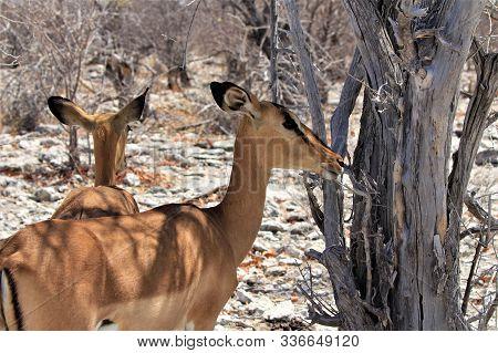 Close Up Of Two Impalas Standing In Thick Bushland, Etosha Nationalpark, Namibia