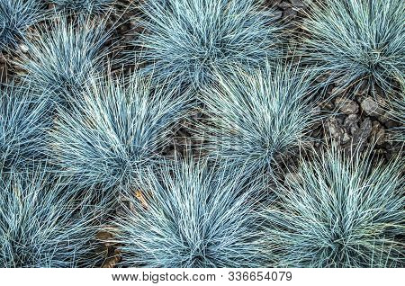 Festuca Glauca Blue Bunting Is A Decorative Grass.