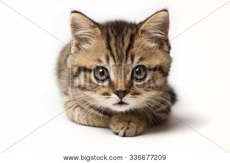 Young Cat Make Big Eyes And Looks In Front Closeup. Young Cat Looking Surprised And Scared. Emotiona