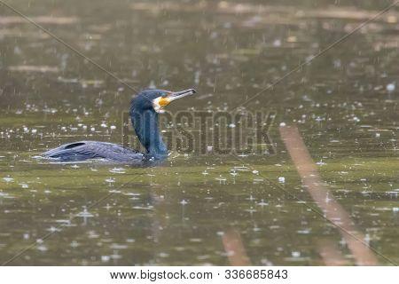 Cormorant Fishing Rain (phalacrocorax Carbo) Rainstorm Cormorant