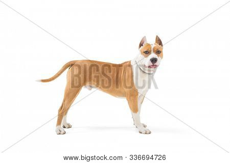 Young american stafford terrier isolated on white background