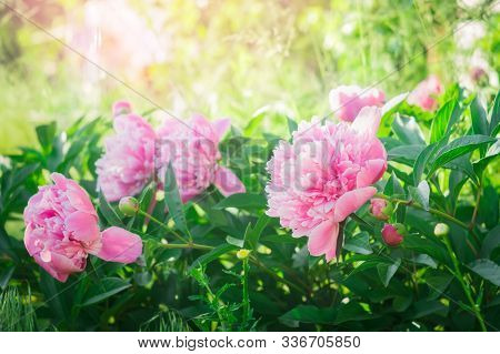 Pink Peony Flower Blossom On A Background Of Peonies In The Garden. Spring Flower Peonies.